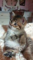 Британский золотой тикированный кот (Золотая Шиншилла, ny 25)