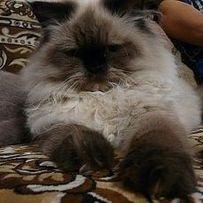 Вязка! Перс, персидский котик, колор пойнт