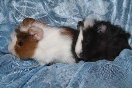 Вихристенькие свинки с домиками