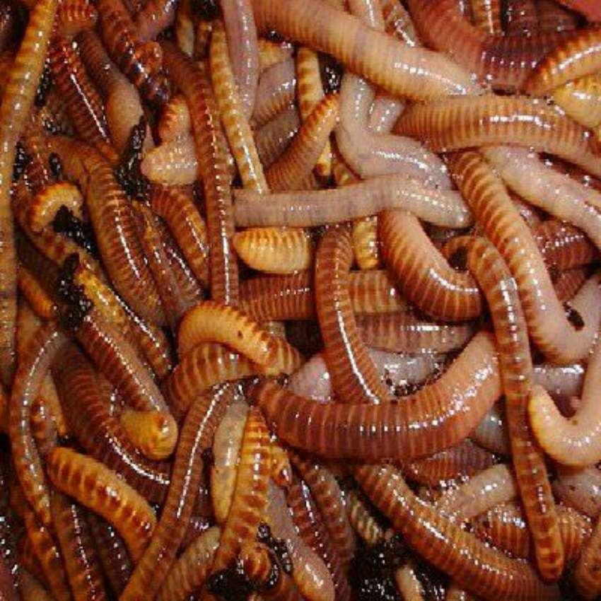 Red Wrigler Compost Earthworms 0