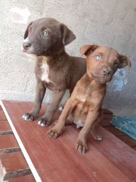 pure breed labourer puppies