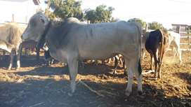 Mix breed Brahman bull