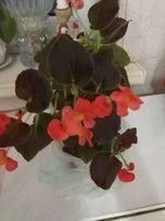 Бегония комнатное растение