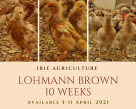 Point of Lay Hens & Pullets