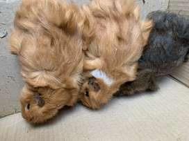 Abyssinian Guineapigs