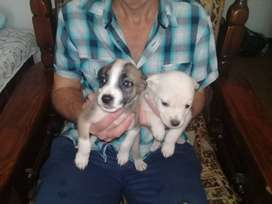 Beautiful boston terrior cross labrador pups ready for loving homes