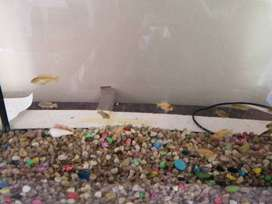 2ft fish tank for sale with malawi chiclids