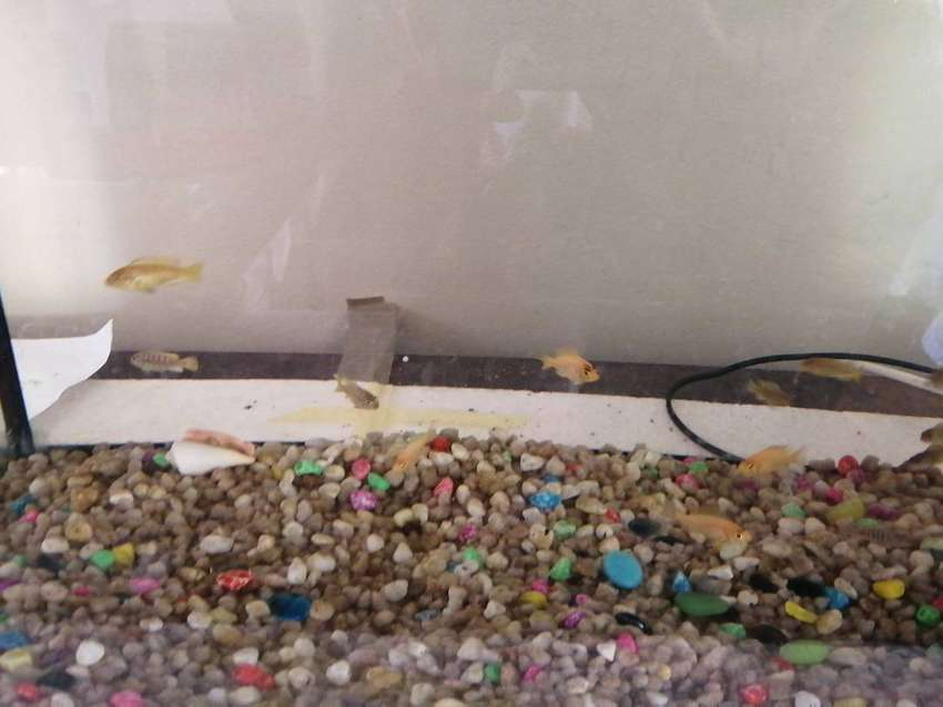 2ft fish tank for sale with malawi chiclids 0