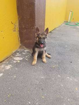 German shepherd puppies 8 weeks old