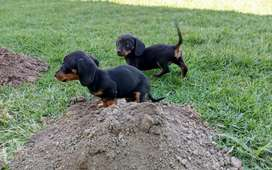Miniature Dachshund babies available.