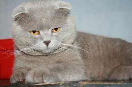 Вязка кота шотландского вислоухого