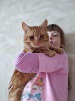 Кот для вязки- британский короткошерстный рыжий красавец