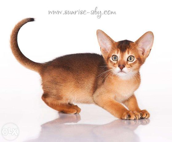 Абиссинский котенок - американский тип Киев - изображение 4