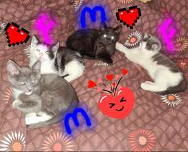 10 weeks old kittens for sale