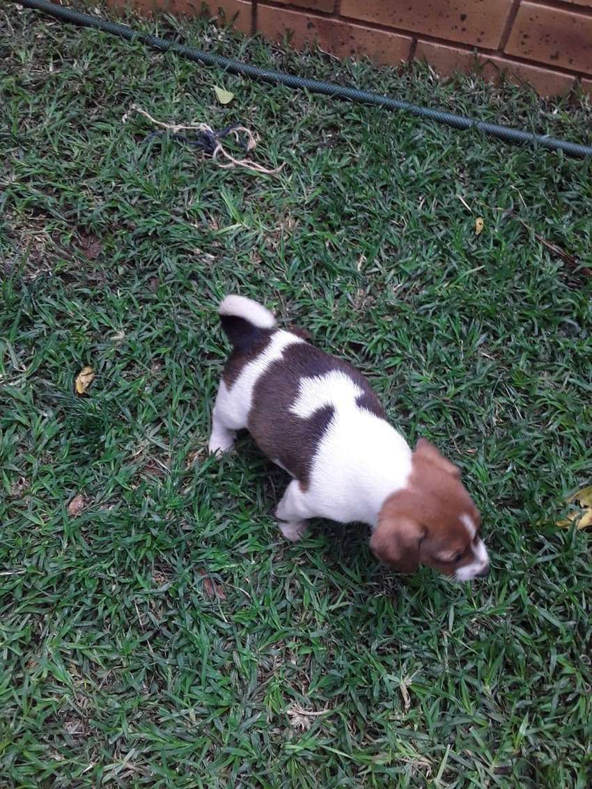 Jack Russel puppies for sale 0