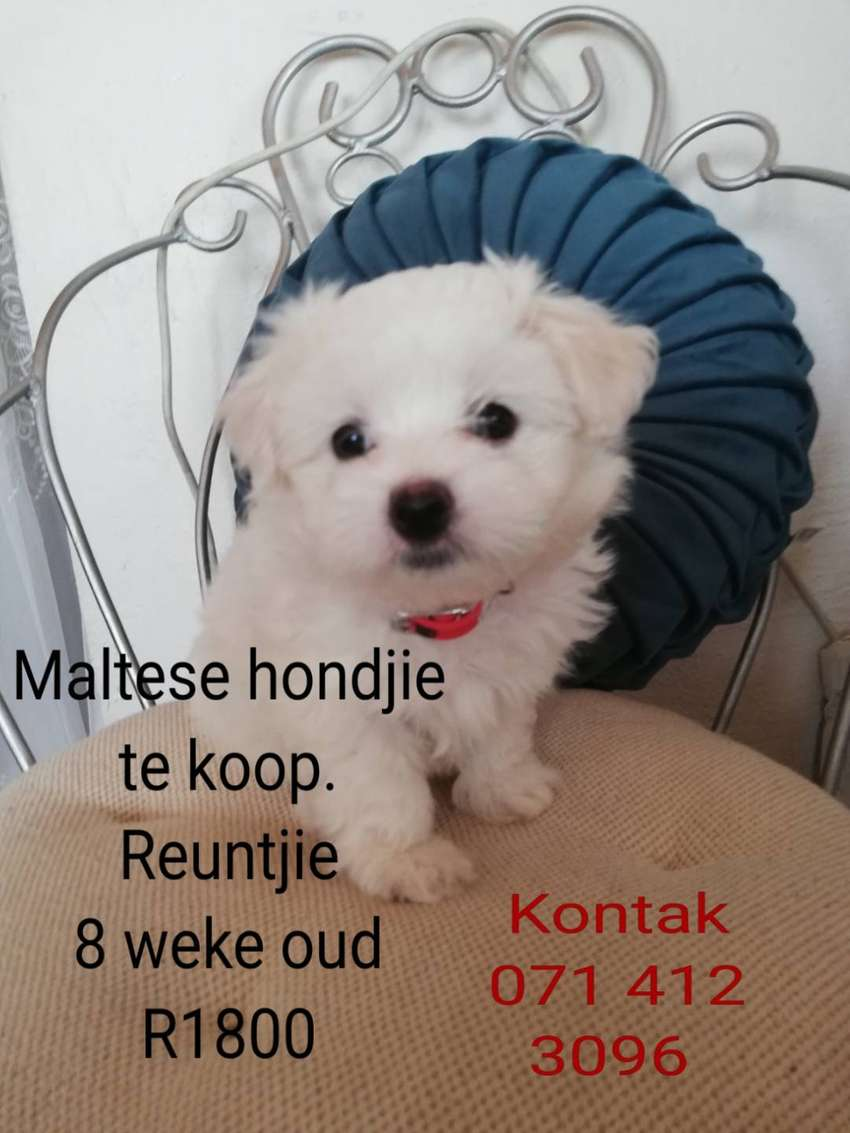 Miniature maltese puppy for sale 0