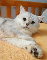кот британская шиншилла для вязки