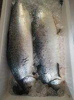 Красная рыба семга охлажденная. Тушки потрошеные с/г.