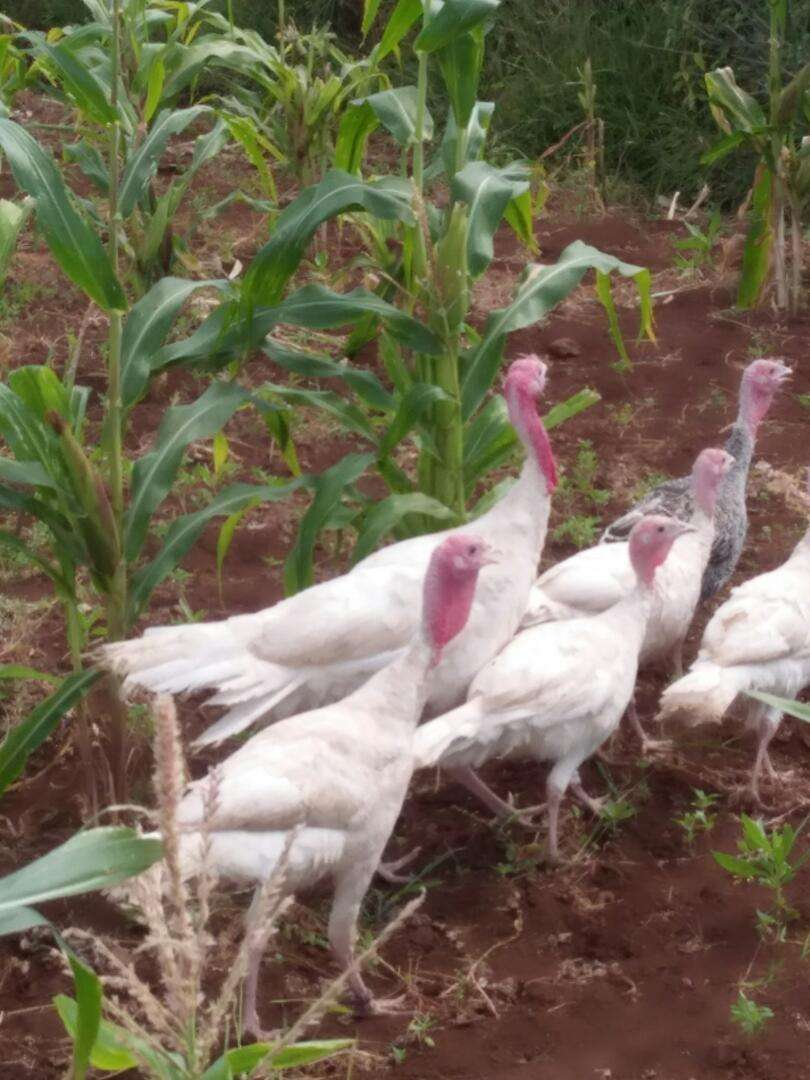Turkey mature and poults pure white and other colour's. 0