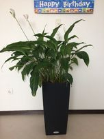 автополив цветок в офис растение умный вазон Спатифиллум ЖЕНСКОЕ СЧАСТ
