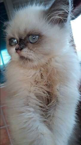 Ragdoll /persian kittens for sale