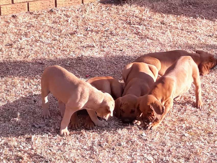 Puppies available 0