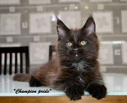 Черный котенок Мейн-кун. Настоящие домовята))
