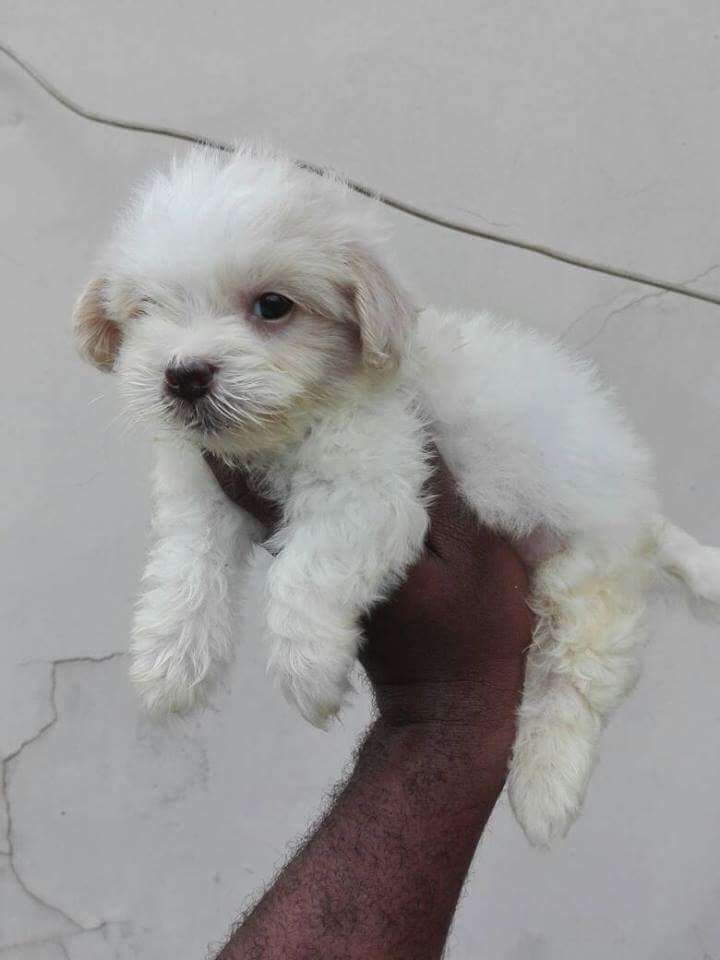 Lhase apso for sale 0