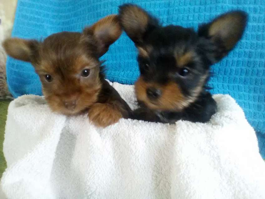 Yorkies very small talkie yorkies 0
