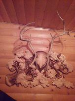 Продам тарчу з рогами оленя
