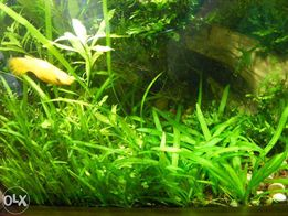 GB trawka mini Sagittaria Platyphylla - Strzałka szerokolistna