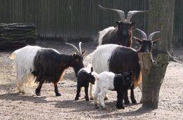 Валлийские козы или черношеие