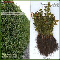 Buk pospolity sadzonki 20-40 cm - Wysysłka kurierem