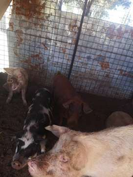 Im looking to buy big pigs 100 kg and up