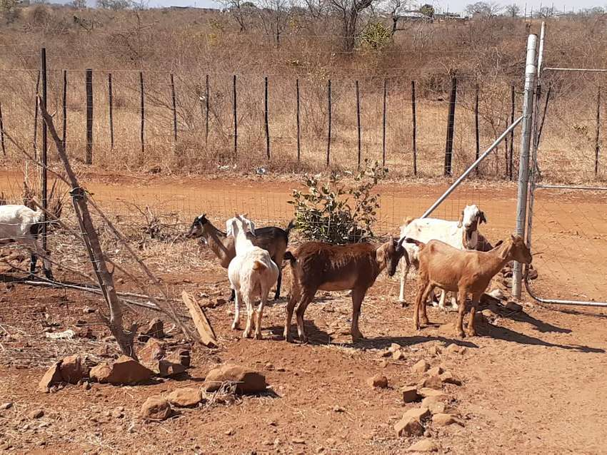 Goat for sale 0