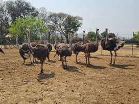 Are you looking for ostriches?