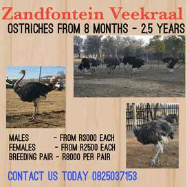 Beautiful Healthy Ostriches