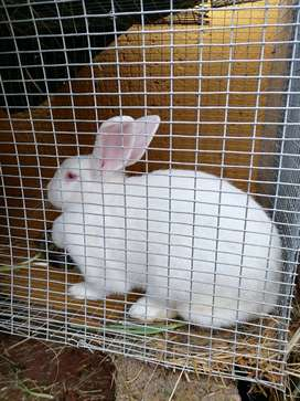 RABBITS FOR SALE NEWZEALD WHITE AND CALIFORNIAN 2 T0 10 MONTHS