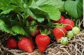 Strawberry runners for sale