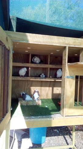 SHOW PIGEONS FOR SALE