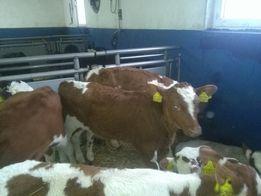 Sprzedaż bydła mieszanego w taniej cenie