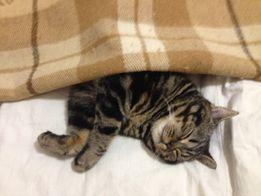 Шотландский кот Вязка