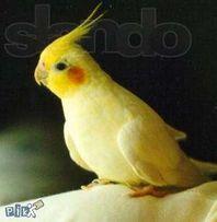 Попугаи Кореллы разного окраса для обучения разговора.