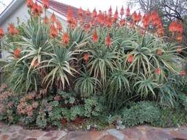 Aloes: leaves, cuttings, rooted and potted