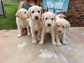 labrador blonde puppies