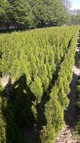 Tuje krzewy ozdobne