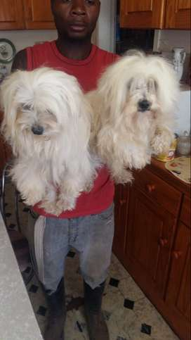 Miniature maltese adult