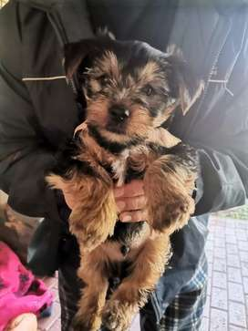 Male yorkie for sale