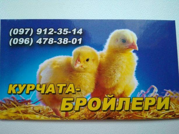 курчата бройлери COOB 500 Ерки - изображение 1