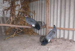 Синий ушастый фазан по хорошей цене!!!